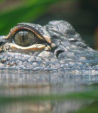 В США построят лагуну для дайвинга с аллигаторами
