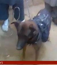 Афганские талибы взяли в плен американскую собаку