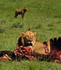 Ученые объяснили притягательность запаха крови для хищников