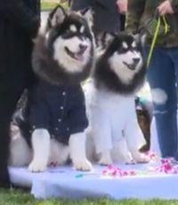 В Пекине прошла массовая собачья свадьба