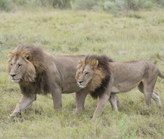 В Ботсване пять львиц-лесбиянок отрастили гриву