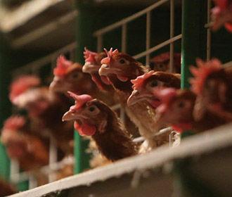 Европарламент поддержал увеличение квот на украинскую курятину