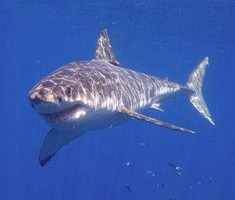 В Австралии фиксируют антирекорд смертности из-за нападения акул