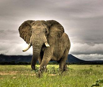 Слоны подскажут новые методы лечения рака