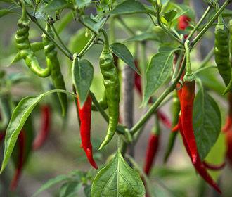 Перец чили назван идеальным продуктом для сердечников