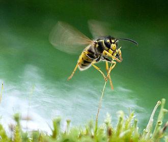 В яде осы обнаружено спасение от бактериальных инфекций