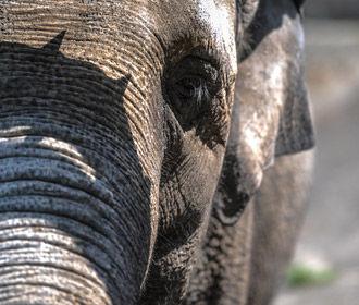 Ученые: «зомби-ген» спасает слонов от рака