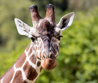 Жираф искусал до полусмерти трехлетнего ребенка с матерью