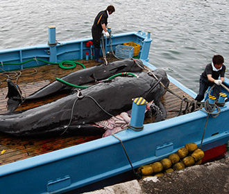 Япония выйдет из китобойной комиссии и возобновит промысел китов