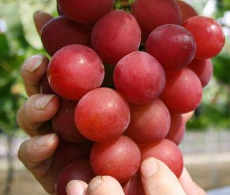 «Полезная программа»: какой виноград полезнее – зеленый, синий или красный?