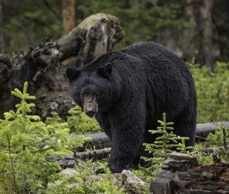 Медведь напал на вышедшую на пробежку девушку