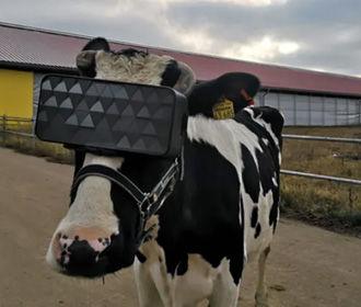 В РФ протестировали виртуальные очки для коров