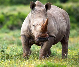 Парубий и носорог
