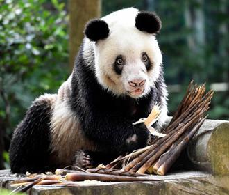 Умерла старейшая в мире панда