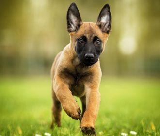 В Австрии собаку научили выявлять коронавирус по запаху