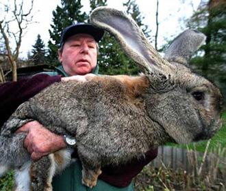 В Великобритании похищен самый большой кролик в мире