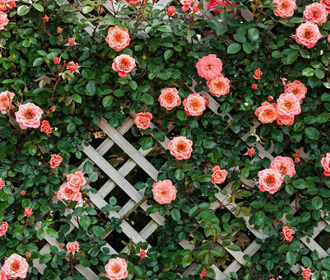 Куда посадить вьющуюся розу?
