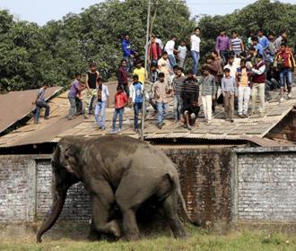 В Индии ловят слона, убившего 16 человек
