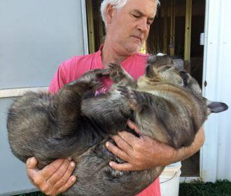 В Австралии располневшего до 35 кг вомбата посадили на диету