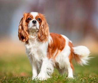 Ученые определили самую болезненную породу собак