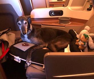 Собака облетела полмира в бизнес-классе самолета
